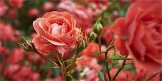 Whether you have a vegetable garden, rose garden or weed garden, here is the best round up of gardening tips and ideas that you've probably never tried! Succulent Wall Planter, Succulents Garden, Autumn Garden, Easy Garden, Black Spot On Roses, Growing Dahlias, Rose Care, Planting Roses, Flower Lights