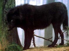 Black wolf....Karl's dream, will never happen!! Instead I think we'll just go to the wolf rescue and maybe he can volunteer!