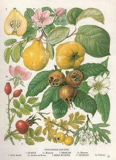 Vintage flores membrillo antiguo imprimir botánico 63, planta impresión grabado…