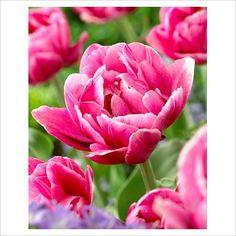 tulipa pink cameo - Google Search