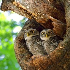 """Little Twin Owl"" by Tul Viratsilp via 500px"