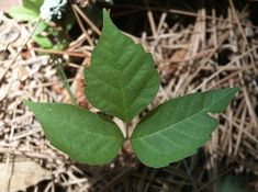 Q: Does Georgia have Poison Oak plants? A: Poison oak, Toxicodendron pubescens, does grow in Georgia but it is MUCH less common than people think. Poison Oak Leaves, Poison Oak Plant, Garden Weeds, Lawn And Garden, Toxicodendron Radicans, Garden Show, Weed Control, Home Landscaping, Farm Gardens