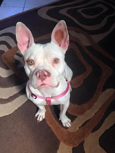 #AdoptDontBuy #AdoptADog 02/24/15-#HOUSTON Ooomawgoshhhhh. Look at Luna!! She needs her forever home!! Please share! Breed: American Staffordshire Terrier/American Bulldog Mix Color: White - With Tan, Yellow Or Fawn Age: 2 Yrs Size: Med. 26-60 lbs (12-27 kg) Sex: Female