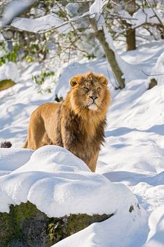 Lion standing in snow