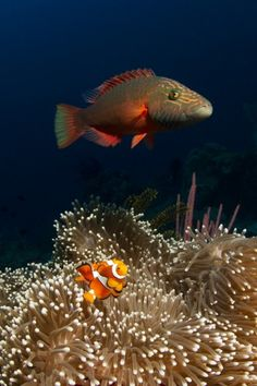 The Anemonefish sure looks scared of the wrasse!