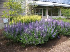 'Purple Smoke' false indigo (Baptisia 'Purple Smoke') - I've heard these are drought tolerant once established - need to look into this.
