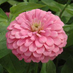 Pretty pink! Zinnia Benary's Giant Bright Pink