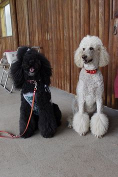 poodle sisters!
