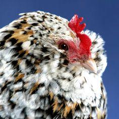 Bearded Belgian d'Uccle Mille Fleur hen. Such a cute bantam