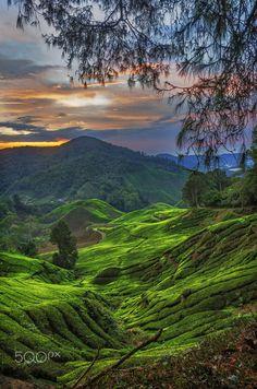 "travelgurus: "" Tea Plantation in Cameron Highlands, Malaysia by Kin Wah Joseph W. Backpacker's Guide to Cameron Highlands """