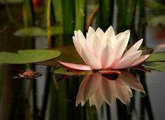Photography/Water Lilly