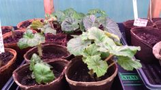 The begonias for 2015 are residing in the farm greenhouse for now  - they sprouted about 3 weeks ago - these plants take 45 days to mature & begin flowering so they have a ways to go - by the end of May they will have flowers - Remember my garden is in northern Minnesota so I will plant my begonias in the garden the end of May after frost danger is over !