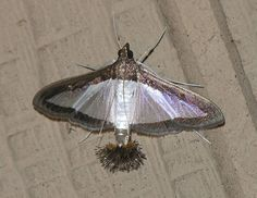Melonworm Moth - Diaphania hyalinata (Photo: Marvin Smith on 11/2/09) Identification: Very distinctive white to translucent wings wit...