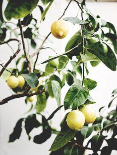Citronträd // lemon tree