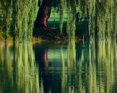 My dream is to have a small to medium pond in back of my house with a weeping wi. My dream is to h Weeping Willow, Willow Tree, Cool Pictures, Cool Photos, Beautiful Pictures, Pocahontas, Tree Illustration, Tree Photography, Garden Trees
