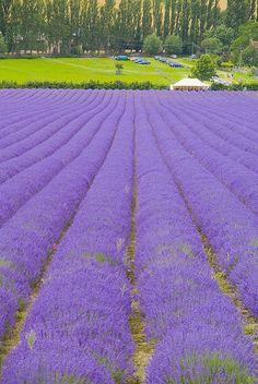Lavender Fields Kent by jimhellier, via Flickr