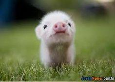 Chega de só  cães e gatos! estou postando um porco! curta se acha ele fofo!