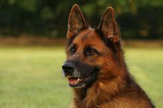 Beautiful picture of German Shepherd #Dog Breed. Want to get more information about his breed just go there http://www.dogcarehelp.com/german-shepherd-dog-breed/