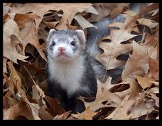 Ferrets of Autumn - Onyx 1 by ~ShamanofShadows on deviantART