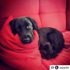 Comodissimo grazie!  #Repost @zepar90 with @repostapp  Comodo?? . #BauSocial #Milano #cane #cani #dog #dogs #mydog #dogoftheday #dogofinstagram #instadog #Bau #dogstagram #puppy #tbt #tagsforlikes #followme #picoftheday #love #life #instadog #Bau #amazing #vsco #love