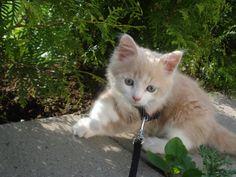 Skipskatt kitten creme white Polydactyl