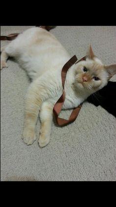 Lost Cat - Burmese - East Gwillimbury, ON, Canada L9N 1B5