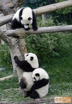 Baby pandas, so very cute, especially the one on the ground, lifting up his mate...or maybe the middle panda has slipped, jamming the paws of the panda below...either way, it's a delightful photo...::))