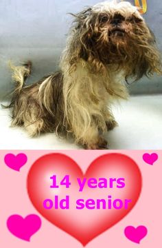 SAFE 7-31-2017 by Anarchy Animal Rescue --- SUPER URGENT Manhattan Center MINNIE – A1120075  FEMALE, WHITE / GRAY, SHIH TZU MIX, 14 yrs STRAY – EVALUATE, HOLD FOR OWNER DIED Reason OWNER DIED Intake condition EXAM REQ Intake Date 07/28/2017  http://nycdogs.urgentpodr.org/minnie-a1120075/