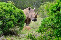 How Should Rhinos Be Relocated? Upside Down. Kruger National Park, National Parks, Rhino Species, Nature Research, High Metabolism, Okavango Delta, Veterinary Medicine, Brain Activities, Habitats