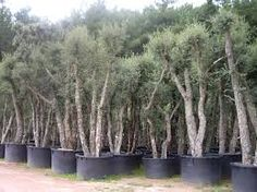 Image result for Quercus suber bark Water Wise, Patio, Plants, Gardening, Image, Lawn And Garden, Plant, Planets, Horticulture