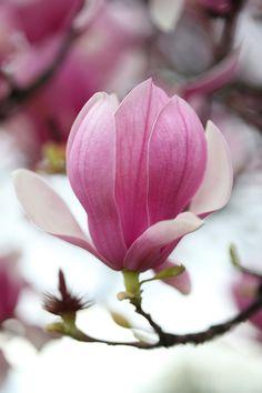 saucer magnolia photo: philip blankenship