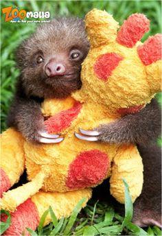 #câlins de ce petit #paresseux #sloth #monkey #singe