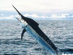 National Fish: The Blue Marlin