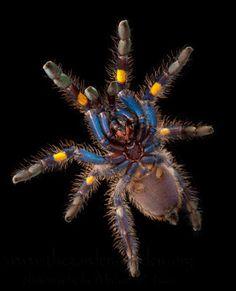 Gooty Sapphire Ornamental Tree Spider Habitat: Southeastern India and Sri Lanka Status: Critically Endangered