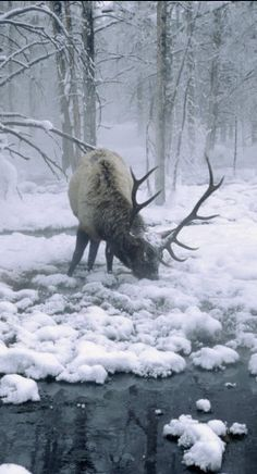Elk bull grazing in the Wyoming winter • photo: Inga Spence on Piccaso Mio