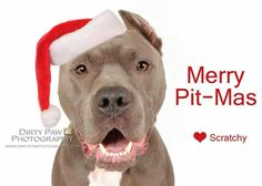 ♥ MERRY PIT-MAS TO EVERYONE! If you're getting a canine furchild this Christmas, PLEASE adopt, don't shop. Save a pittie life. Pit Bull type dogs are the sweetest babies out there.  They give back what they receive and then some.  Loyalty, compassion, very high intelligence, devotion and LOTS OF LOVE! Did I mention tons of kisses? If you can't adopt, DONATE TO SAVE ONE!