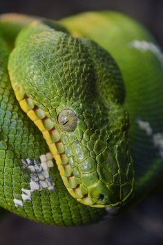 Snake charmer by Ion Moe | Flickr - Photo Sharing!  An Emerald Green Boa ponders the fate of the universe at the San Diego Zoo