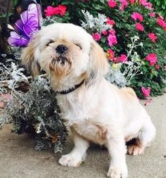 Check out Candy's profile on AllPaws.com and help her get adopted! Candy is an adorable Dog that needs a new home. https://www.allpaws.com/adopt-a-dog/shih-tzu/3317207?social_ref=pinterest