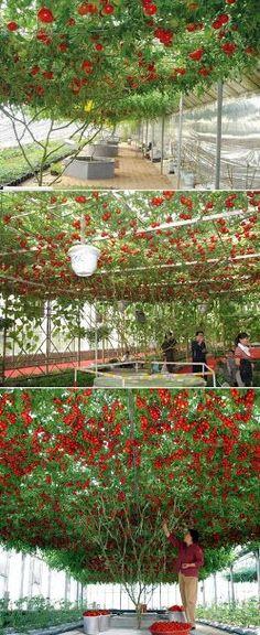 Giant Tomato Tree..... شجرة الطماطم العملاقة ، لكن ماذا عن طعمها !!؟