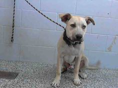 SAFE --- NOAH - ID #A473555 (MUST EXIT ON 10/4) This little boy is adorable and he is kenneled with Scotty! JellyBelly VIDEO https://www.facebook.com/video.php?v=522210427913828&set=vb.100003746272683&type=3&theater I am a male, tan and black Pit Bull Terrier mix. San Bernardino City Shelter - https://www.facebook.com/photo.php?fbid=10202234036126224&set=a.3186215868195.111836.1649756531&type=3&theater