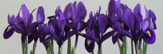 Iris...mine are sprouting as we speak but these are stunning