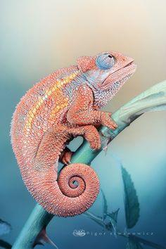 Rudis Chameleon   by `Blepharopsis