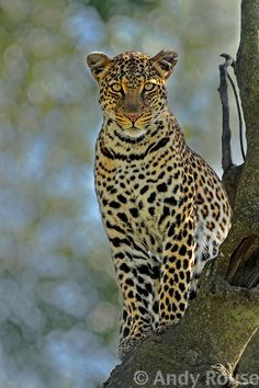 A very difficult cat to get a decent portrait of, let alone eye contact! But I think this one shows just how beautiful a leopard is. - Copyright Andy Rouse