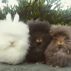 Cute Baby Bunnies, Funny Bunnies, Cute Babies, Zoo Animals, Animals And Pets, Funny Animals, Lionhead Rabbit, Lionhead Bunnies, Angora Rabbit