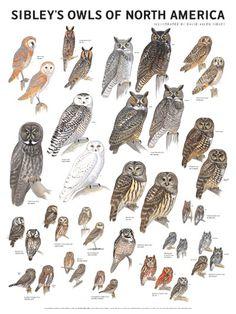 Sibley's Owls of North America Poster – Scott & Nix Owl Bird, Bird Art, Pet Birds, Elf Owl, Bird Identification, Long Eared Owl, Especie Animal, Burrowing Owl, Animal Illustrations