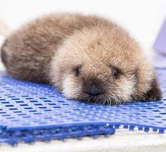 Baby Otter <3 <3 <3