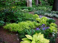 Chartreuse greens in the hostas (front), heuchera (right) and Japanese sedge grass center are complimented by the dark green & purple of the iris.