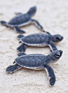 Where to go in Cancun to watch sea turtles, plus the best times of year to see baby turtles hatching and release them into the sea. <3