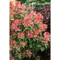 Quick Fire Hardy Hydrangea (Paniculata) Live Shrub, White to Pink Flowers, 4.5 in. Qt.