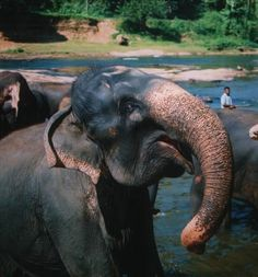 Elephants Sri Lanka, Pinnawala Elehant orphanage. http://worldtravelfamily.com